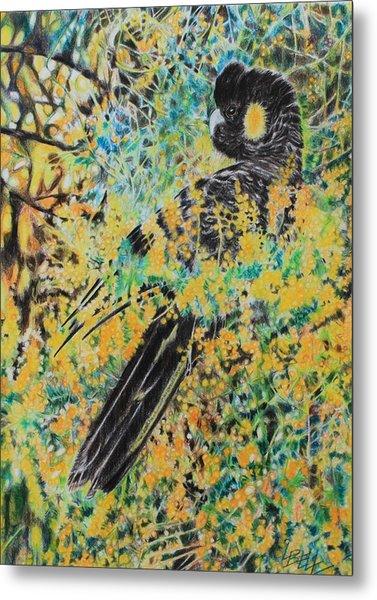 Black Cockatoo In Wattle Metal Print