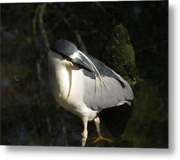 Black Crowned Heron Metal Print by Gregory Letts