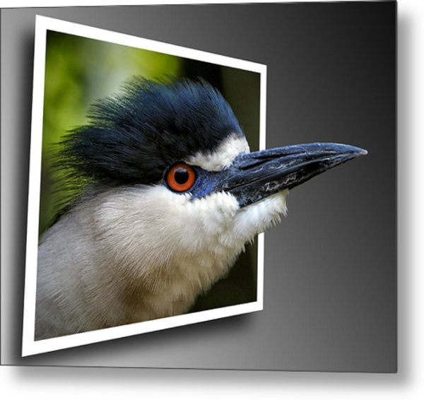 Black Crowned Night Heron Out Of Bounds Metal Print