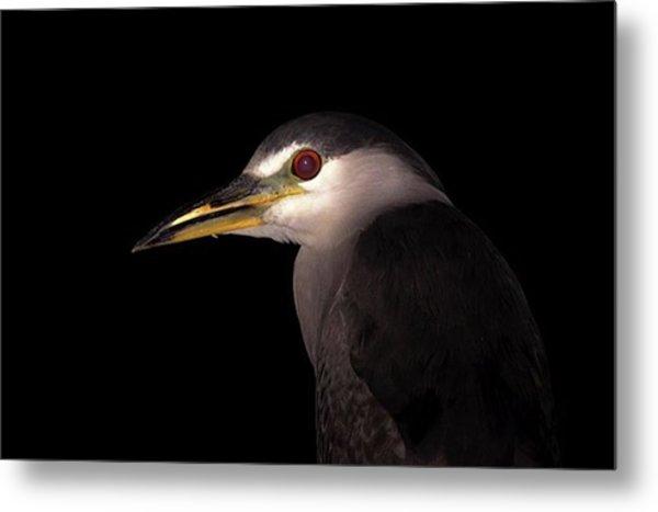 Black-crowned Night-heron ➖➖➖ Metal Print
