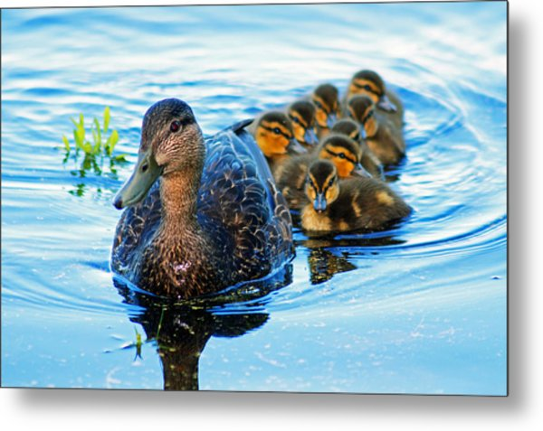 Black Duck Brood Metal Print