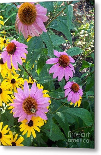 Black Eye Susans And Echinacea Metal Print