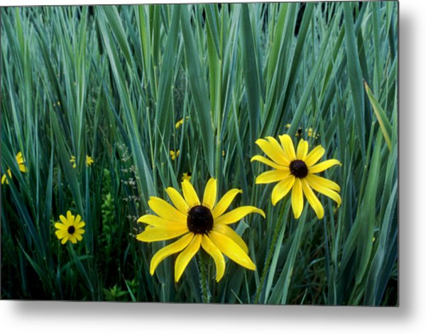 Black eyed susan and tall grass photograph by tony ramos black eyed susan and tall grass metal print by tony ramos mightylinksfo