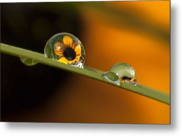 Black-eyed Susan In Dew Metal Print