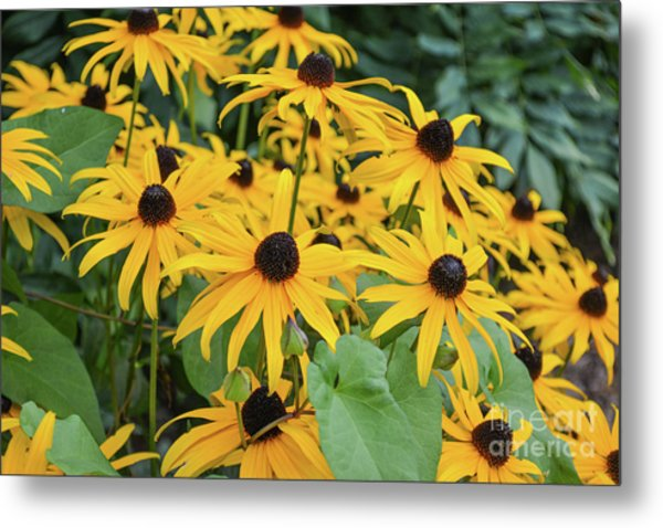 Black-eyed-susans Metal Print