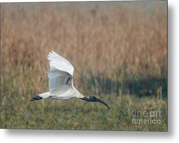 Black-headed Ibis 01 Metal Print