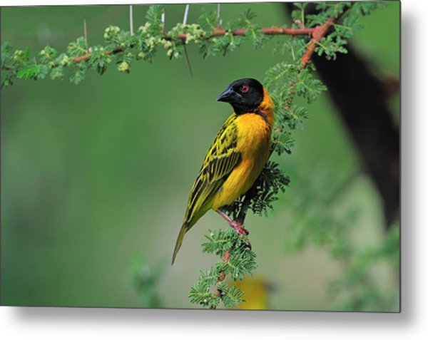 Black-headed Weaver Metal Print