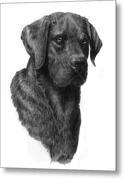 Black Lab Head Study 2 Metal Print
