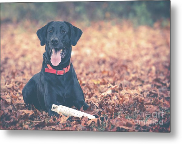 Black Labrador In The Fall Leaves Metal Print