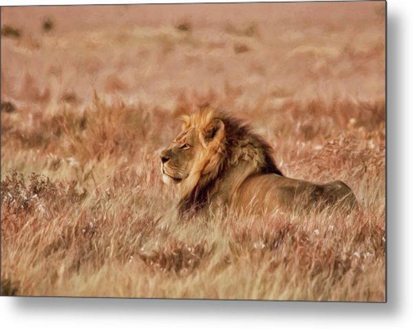 Black-maned Lion Of The Kalahari Waiting Metal Print