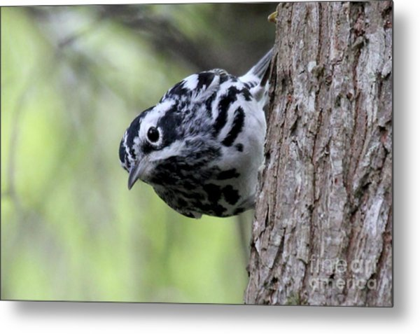 Black-n-white Warbler Metal Print