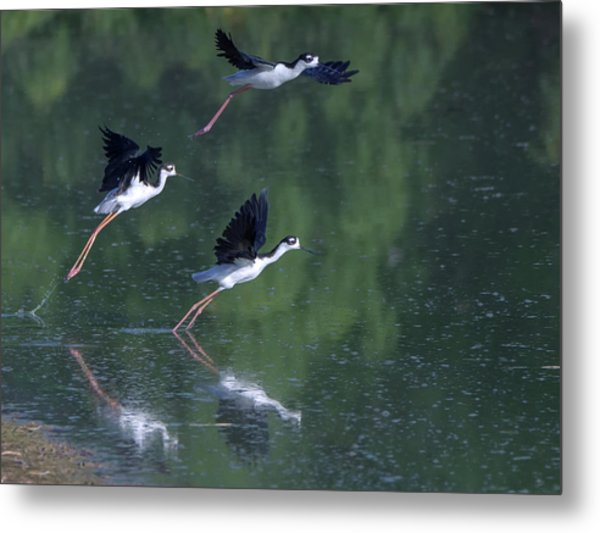 Black-necked Stilts 4302-080917-2cr Metal Print