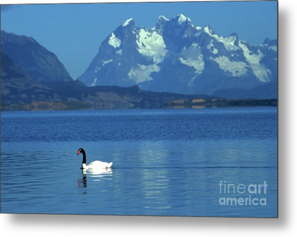 Black Necked Swan On Last Hope Sound Chile Metal Print