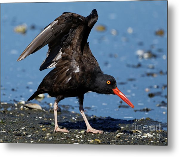 Black Oyster Catcher Metal Print