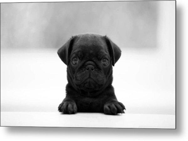 Black Pug Metal Print