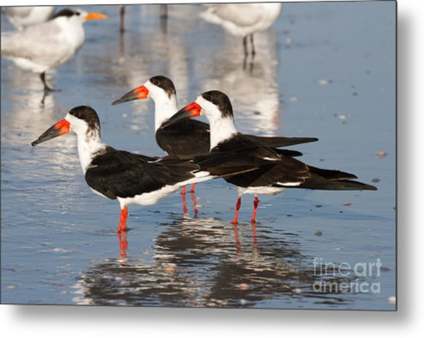 Black Skimmer Birds Metal Print