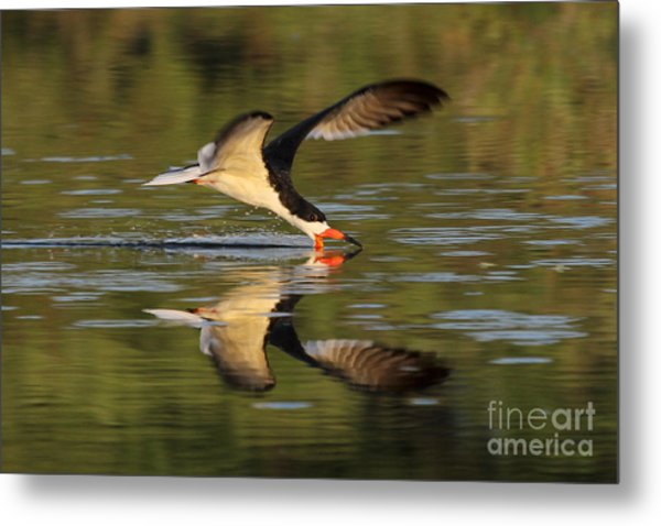 Black Skimmer Fishing Metal Print