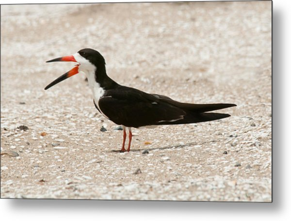 Black Skimmer On Assateague Island Metal Print