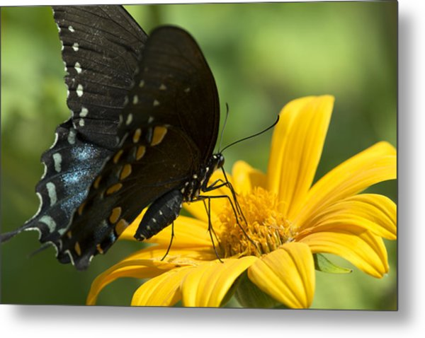 Black Swallowtail Drinking Metal Print