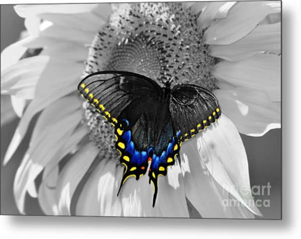 Black Swallowtail And Sunflower Color Splash Metal Print