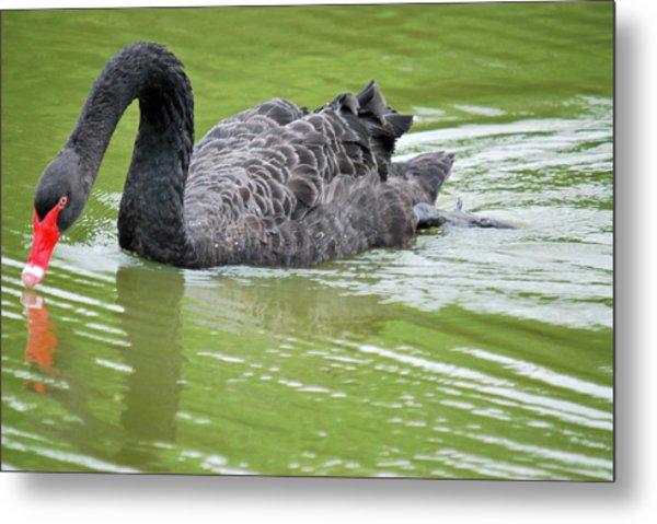 Black Swan Metal Print by Teresa Blanton