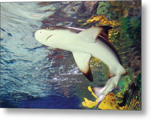 Black Tipped Reef Shark-1 Metal Print