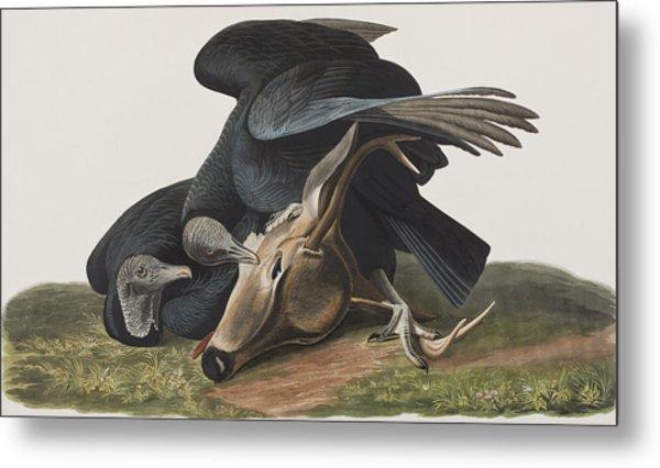 Black Vulture Or Carrion Crow Metal Print