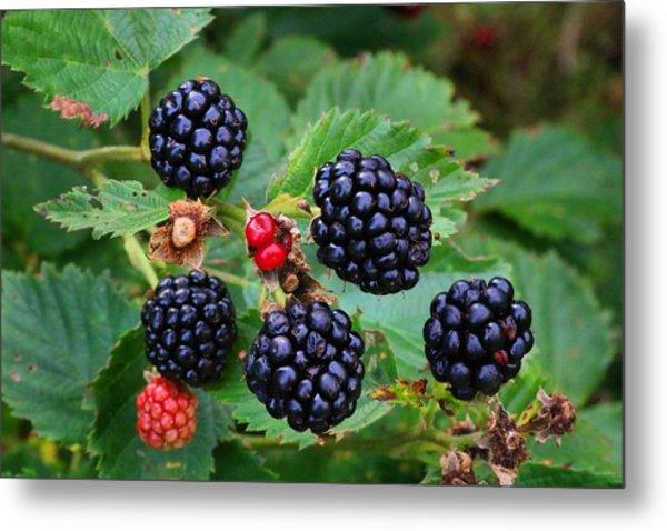 Blackberries 2 Metal Print
