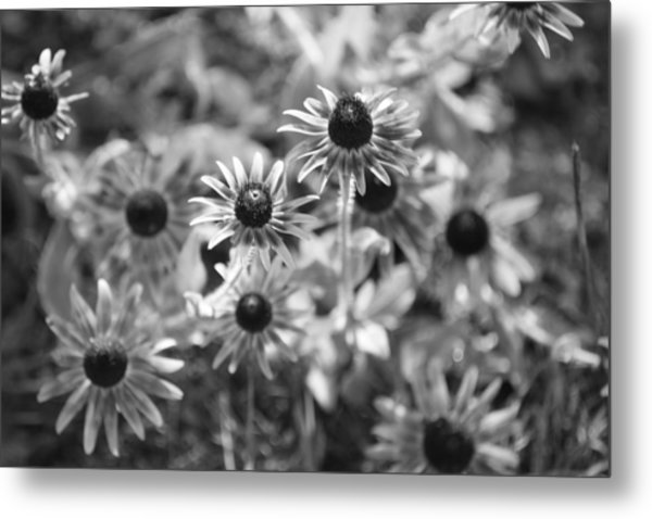 Blackeyed Susans In Black And White Metal Print by Paula Coley