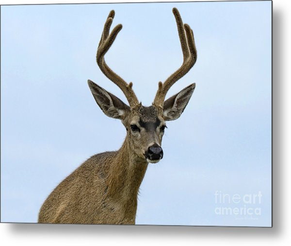 Blacktail Deer Showing Off Summer Antlers Metal Print
