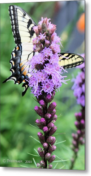 Blazing Stars And Yellow Swallowtails Metal Print
