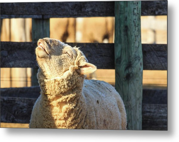 Bleating Sheep Metal Print