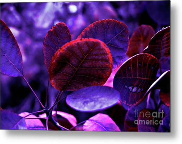 Bleeding Violet Smoke Bush Leaves - Pantone Violet Ec Metal Print