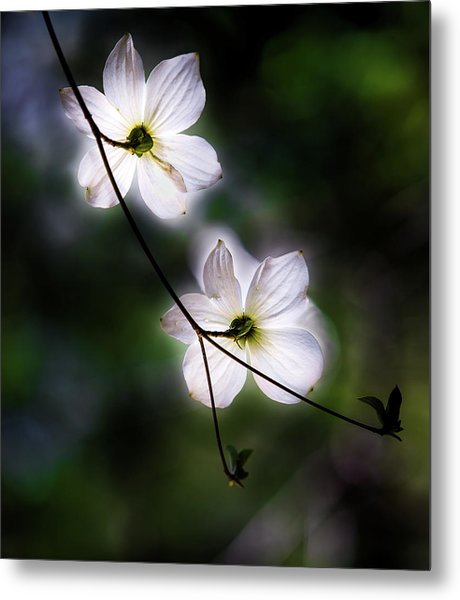 Blooming Dogwoods In Yosemite 2 Metal Print