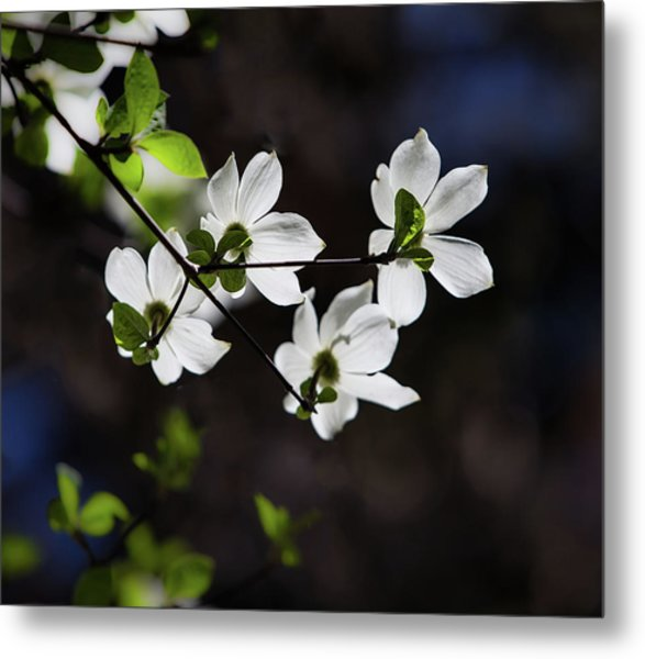 Blooming Dogwoods In Yosemite 4 Metal Print