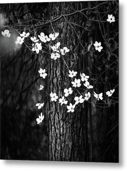 Blooming Dogwoods In Yosemite Black And White Metal Print