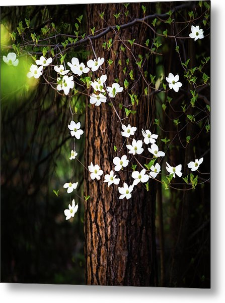 Blooming Dogwoods In Yosemite Metal Print