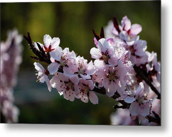 Blooming Peach Tree Metal Print