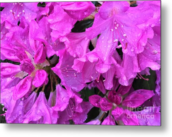Blooming Rhododendron Metal Print