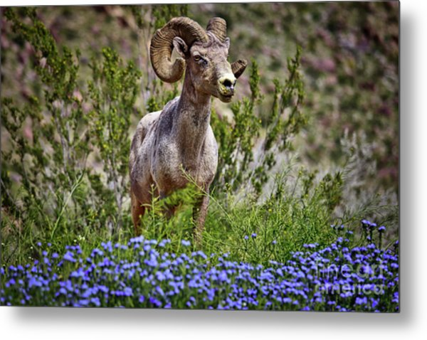Blooms And Bighorn In Anza Borrego Desert State Park  Metal Print