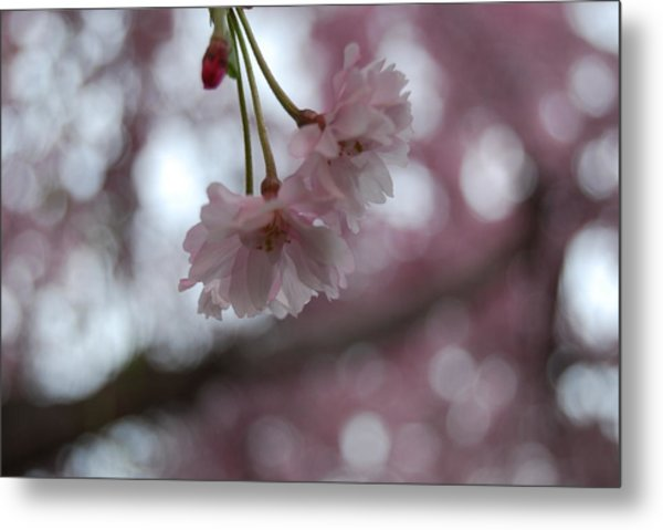 Blossom In Pink Metal Print by Peter  McIntosh