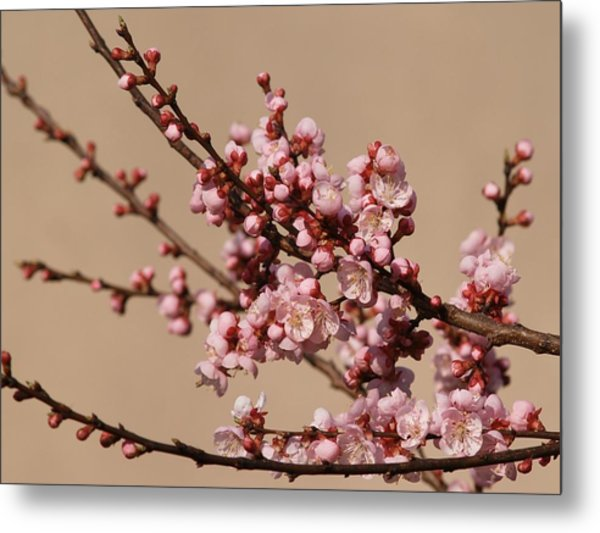 Blossoming In Pink Metal Print by Polonca Supej