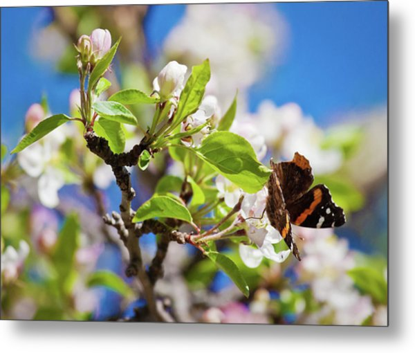 Blossoms And Butterfly Metal Print