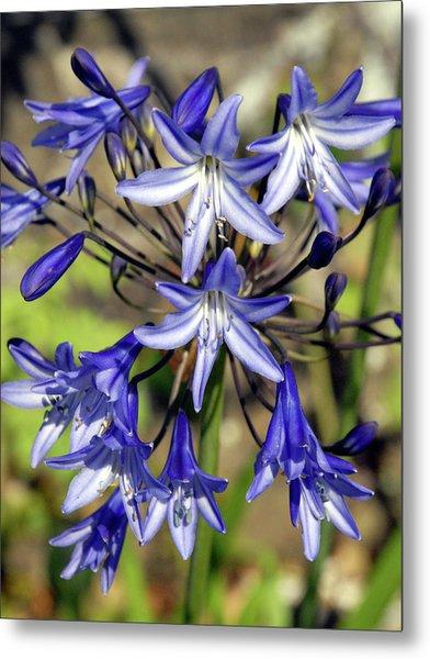 Blue Allium Metal Print