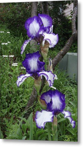 Blue And White Iris Monet Like Metal Print