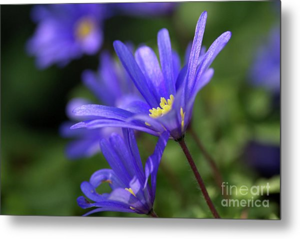 Blue Anemone  Metal Print by Sharon Talson
