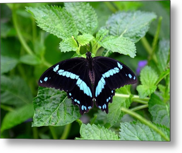 Blue Banded Swallowtail Butterfly Metal Print