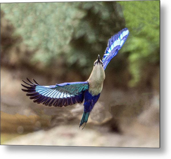 Blue-bellied Roller In Flight Metal Print