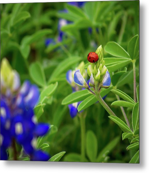 Texas Blue Bonnet And Ladybug Metal Print