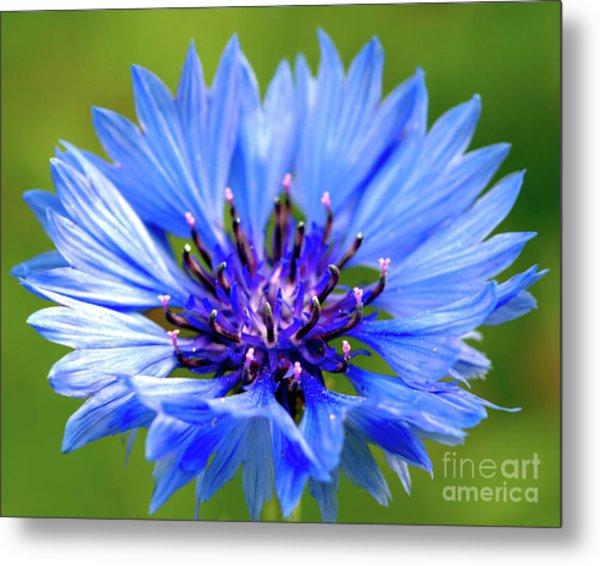 Blue Cornflower Metal Print